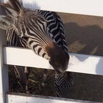 Zebra seeking food!