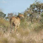 Cheetah off S28 near Crocodile Bridge Gate
