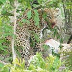 Exciting  siting of Leopard Kill