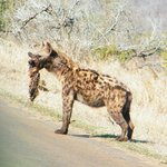 Hyena kill - would you believe on tar road round 6kms from Crocodile Bridge Gate