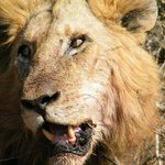 Lion in our face 3km into Kruger from Crocodile Bridge gate