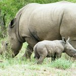 White rhino showing off its VERY young on the River front of Ngwenya