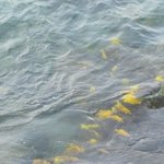 Yellow Tangs swimming in front of hotel daily