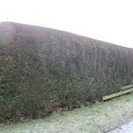 The Burnbank Hedge with the Burnbank name!