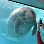 Manatee posing for a picture.