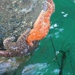 Starfish on piling at Santa Barbara Pier