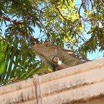 Roof-top iguana
