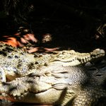 Cuddly crocs