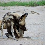 African Wild Dog in Kapamba River bed.