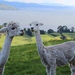 Two pregnant alpacas