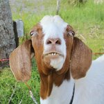 The Grinning Goat