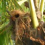Bird's nest in beach palm