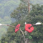 Hibiscus - The National Flower of Malaysia on a streetlamp