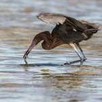 Reddish Egret nabs a snack!