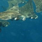 Mantas at the Whaleshark Excursion!
