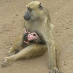 Baby baboon with protective mother