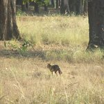 Indian jackal in search of kill at Kanha national park.