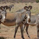 gravys zebra