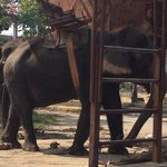 Emaciated elephant, chained to her post