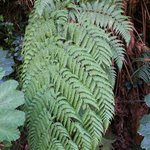 Lovely green ferns along the walkway to the crater.