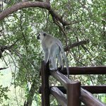 vervet monkey on terrace