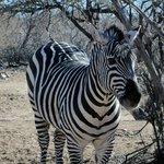 month old baby zebra