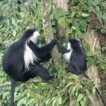 The Visiting Black and white colobus monkeys at lodge vicinity.