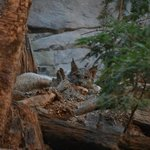 Lynx waking up from a nap in the Laurentian Maple Forest