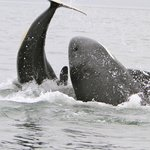 Orca mother not wanting to feed calf