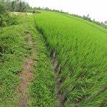 ricefield krui