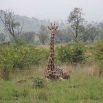 Giraffe relaxing one morning in the grass