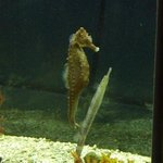 Sea Horse and small gar fish