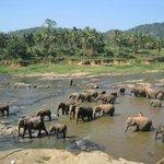 river bathing elephants Pinnawala