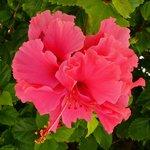 hibiscus every where