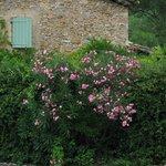 bouquet de laurier rose