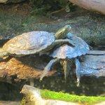 Des tortues un peu fatiguées