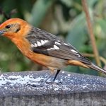 flame collared tanager