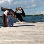 Pelican on the Iguana Reef dock