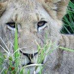 Kariega lion smirk