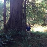 Huge redwood trees
