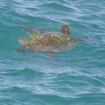 Turtles playing in the waves at Mama's Fish house