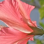 Hibiscus blooming on the grounds