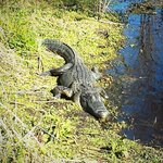Alligators in the wild just next to you