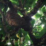 Sloths in the trees by the ocean