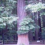 Redwood Commemorative Forest