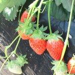 Ema Strawberry Picking Center