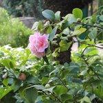 Villa Theresa: Pink Nipponian Camelia