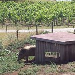 We got to wait to see Pinot the pig at one of our wineries :)