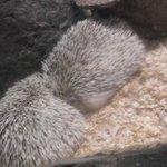 Inexplicable Aquarium Hedgehog
