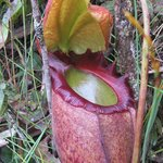 The magnificent Nepenthes rajah which can be viewed along the Nepenthes Garden Trail